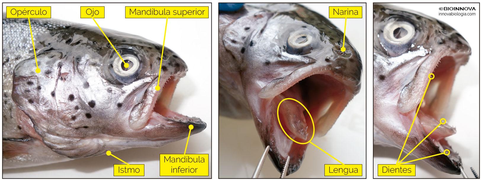 Anatomía externa de la cabeza de una trucha