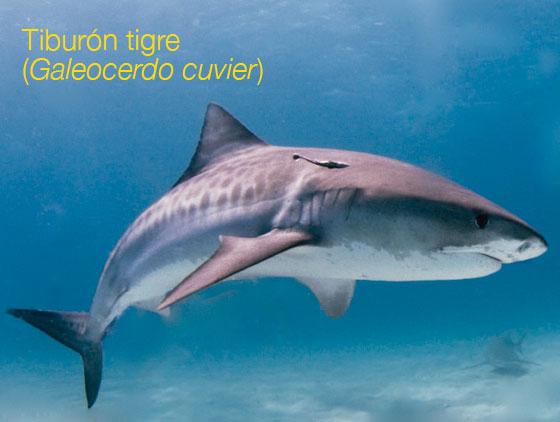 Tiburón trigre