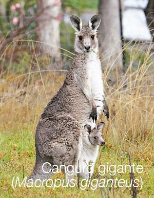 Canguro gigante