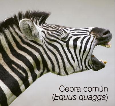 Cebra común