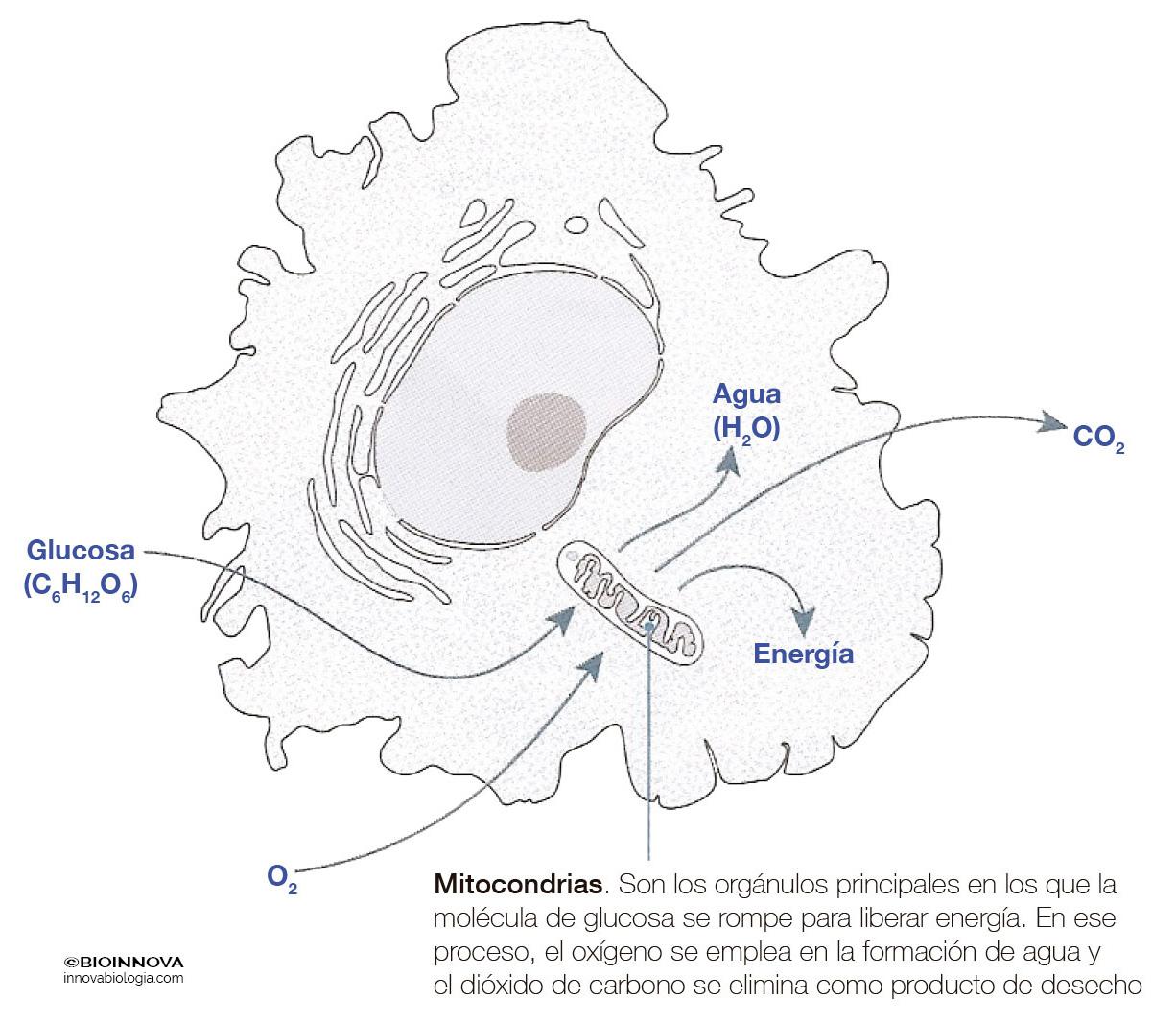 Intercambio gaseoso en la célula