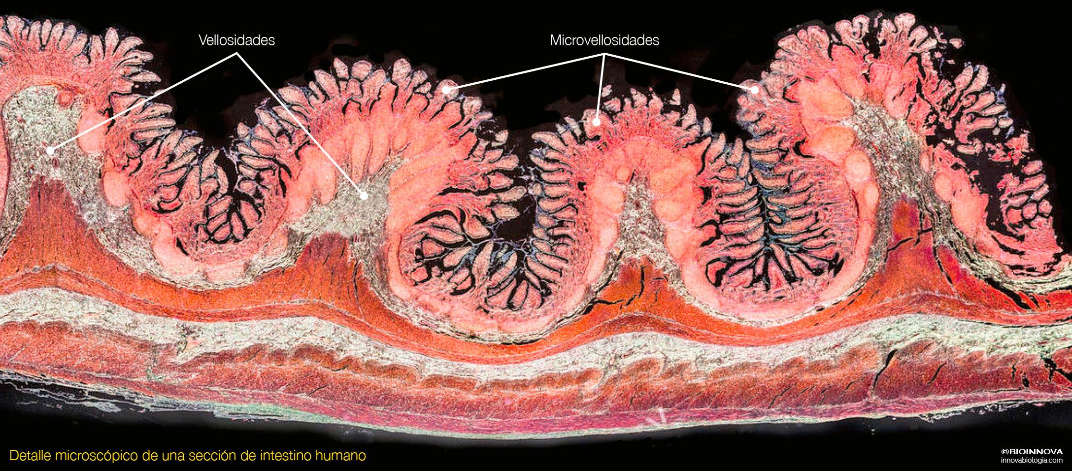 Sección de intestino humano