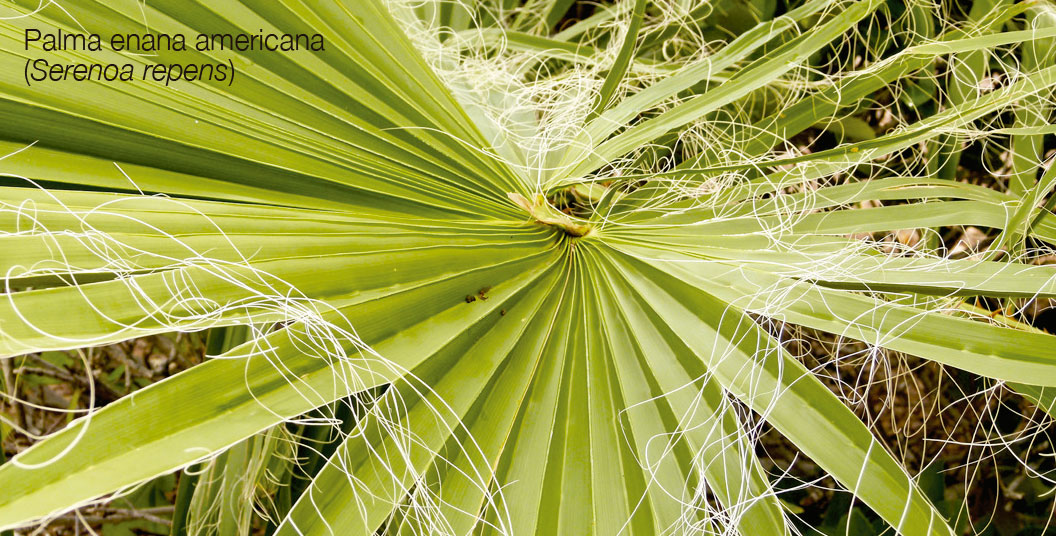 Palma enana americana