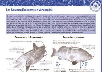 Los sistemas excretores en vertebrados