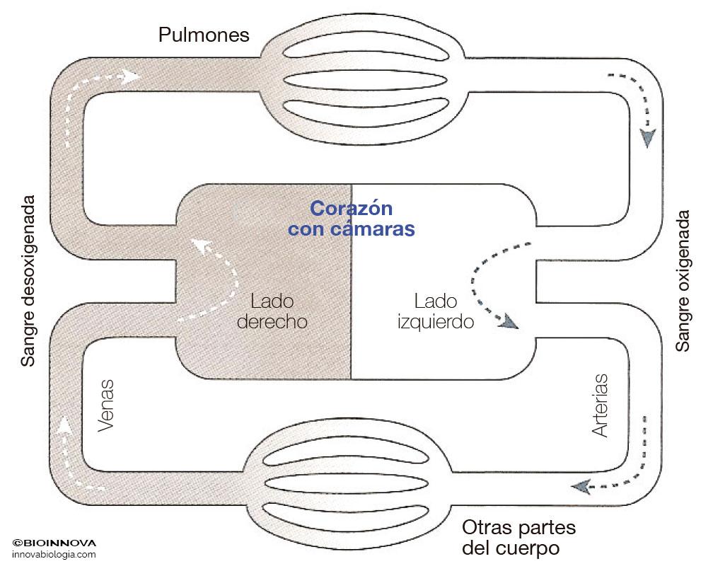 Sistema circulatorio cerrado doble