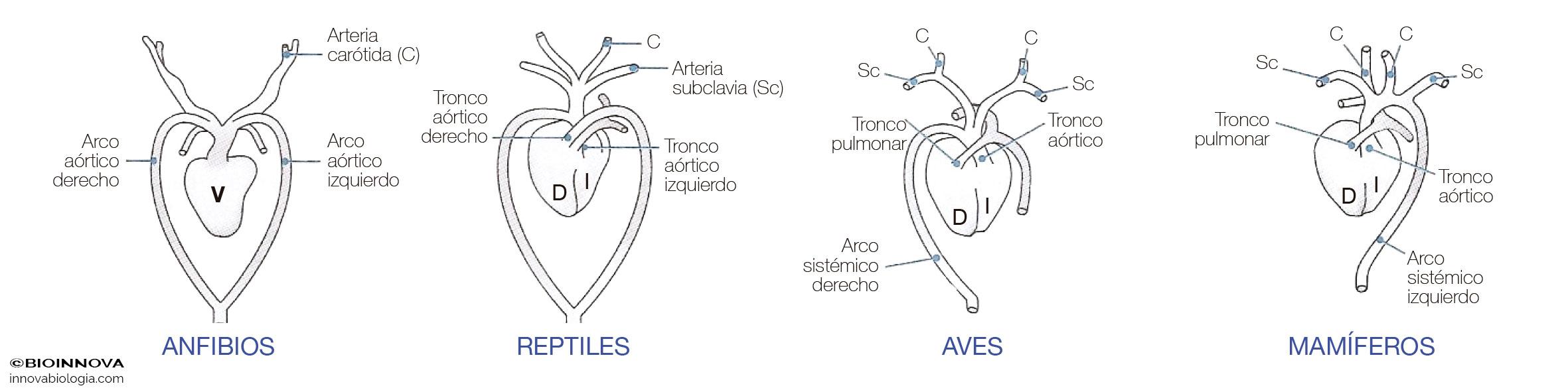 Evolución del corazón de vertebrados
