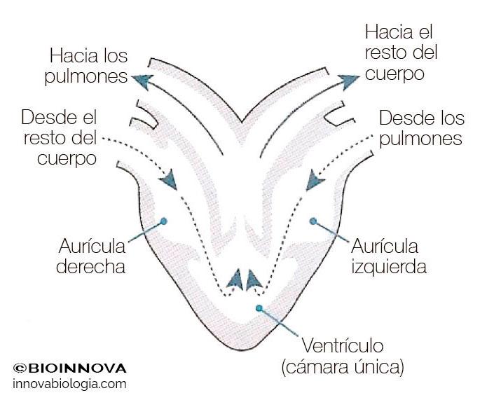 Corazón en anfibios