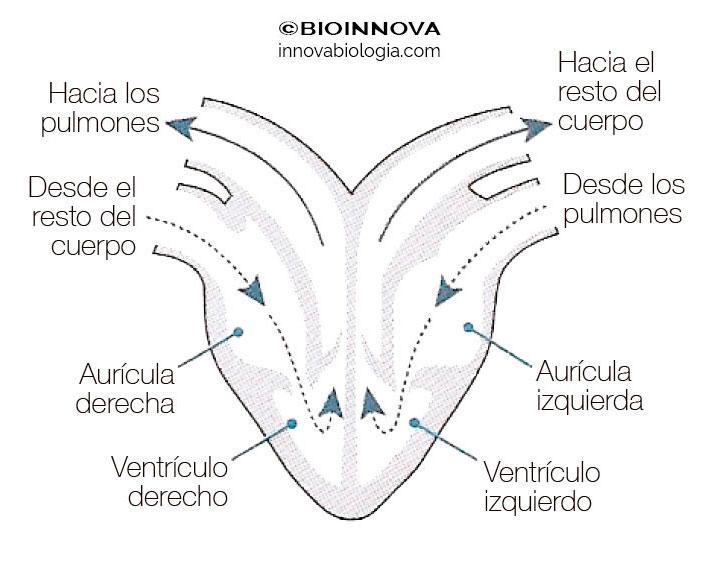 Corazón en mamíferos