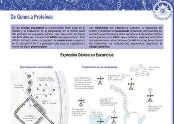 De genes a proteínas